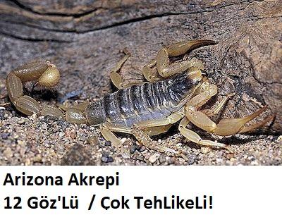 types-of-arizona-scorpions-3.jpg